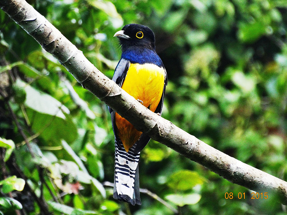 Gartared Trogon