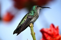 White necked Jacobin female