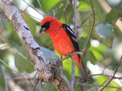White winged Tanager by Thomas Murray