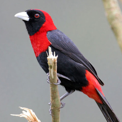 Crimson-collared Tanager by John McKean