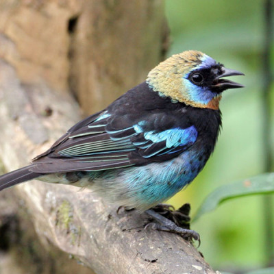 Golden hooded Tanager by John McKean