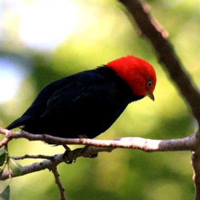 Red capped Manakin