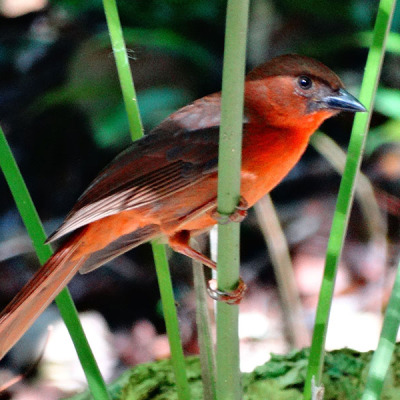 Red throated Ant Tanager