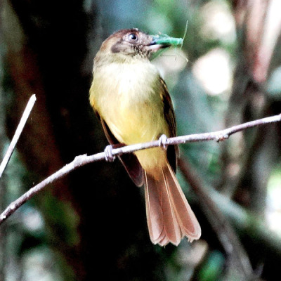 Sepia capped Flycatcher
