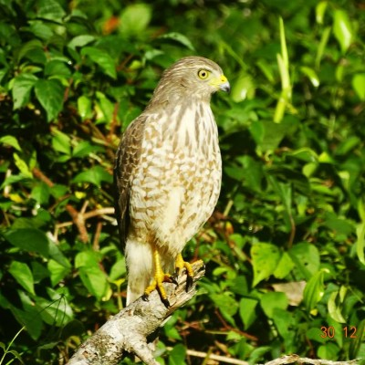 Road-sided Hawk